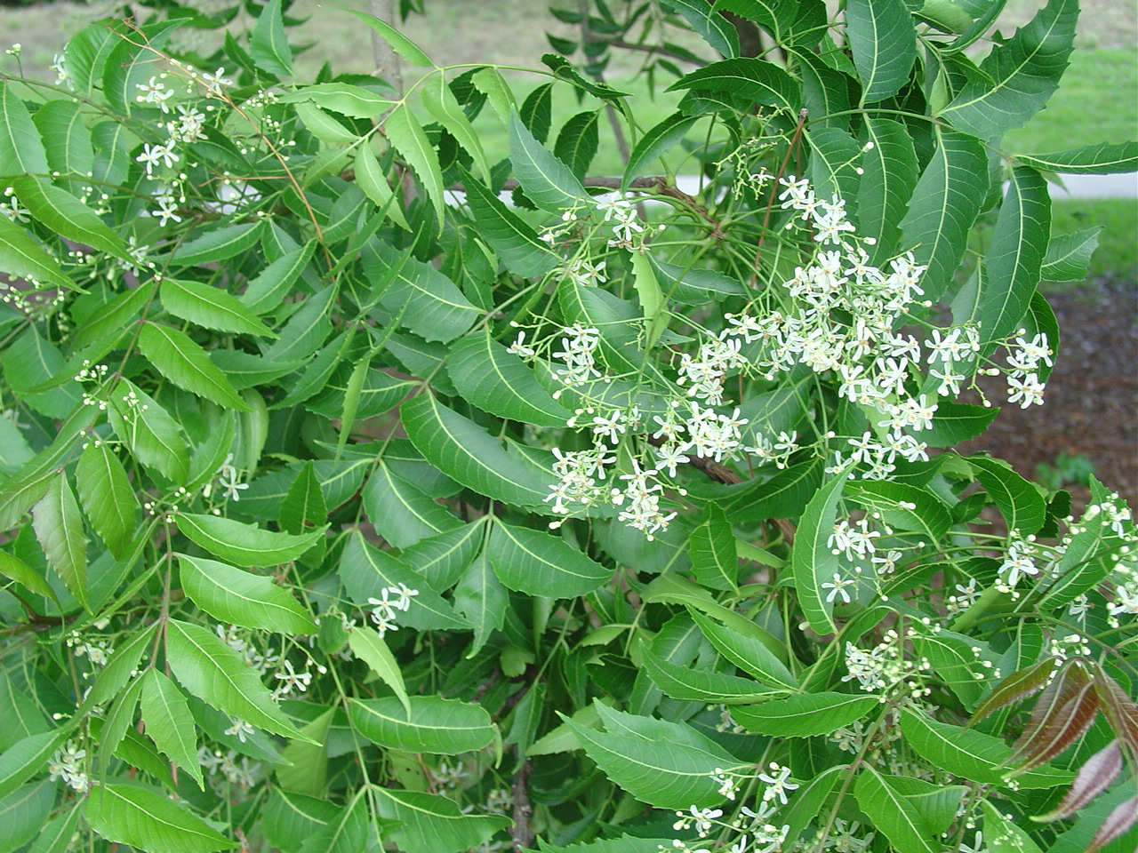 What Are the Benefits of Neem Powder? M Neem tree flowers photos