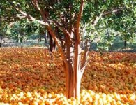 Nagpur is famous for the oranges. Nagpur is proudly known as the orange city. The Nagpur oranges are a wide variety of monsoon fruit which grows in Nagpur. Nagpur exports...