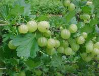 The Indian gooseberry (Phyllanthus emblica – Binomial name) known as Aamla or Amla in Hindi and amalika in Sanskrit. Amla has many scientific and health effect. Its aslo called as...