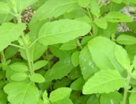 Tulsi is a holy plant for Hindu peoples. It is worshipped as a goddess and remain available in every Hindu Family. It is an integral part of Indian culture. In...